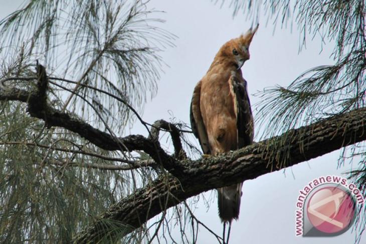 Enam elang jawa terpantau di Merapi