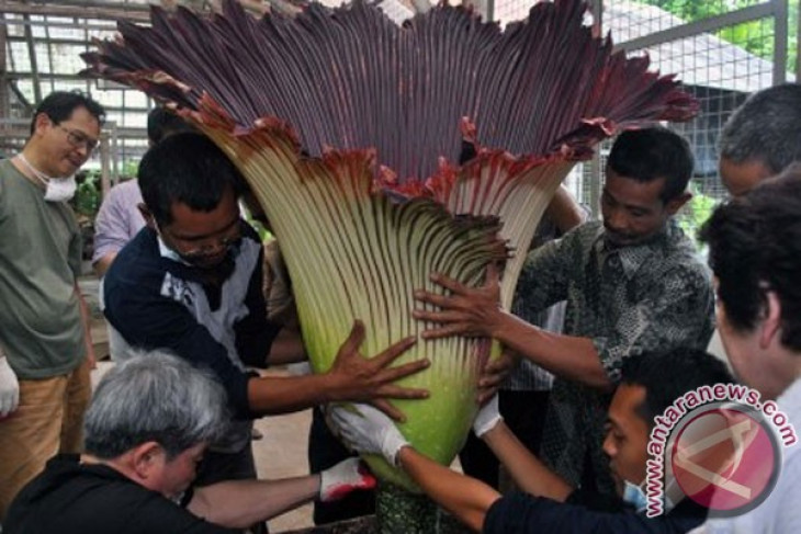 Partisipasi Bunga Bangkai di Korea Dorong Pariwisata Indonesia