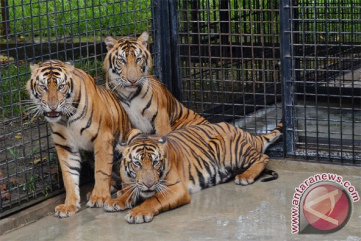 44 countries support sumatran tiger conservation