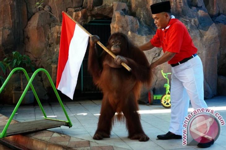 Orangutan 17-an