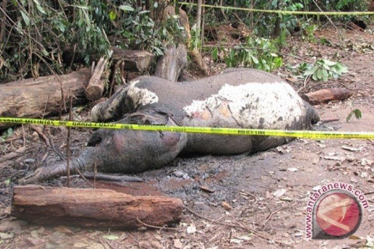 Seekor gajah Sumatera di Jambi ditemukan mati