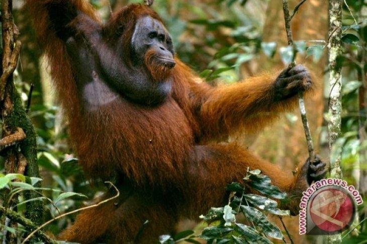 BKSDA: Empat kematian orangutan