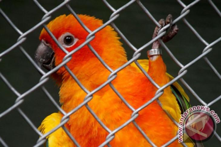 BKSDA Gorontalo sita 15 burung paruh bengkok