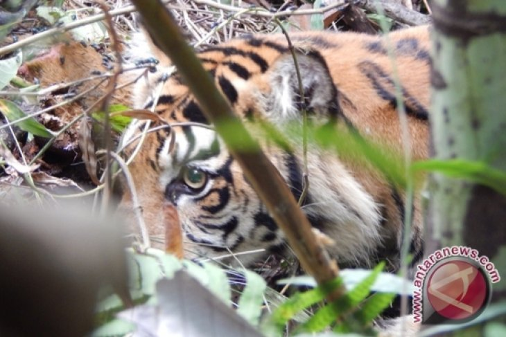 Kaki harimau terkena jerat akan diamputasi