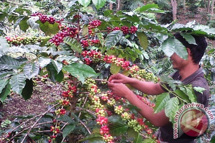 Bener Meriah programkan peremajaan tanaman kopi