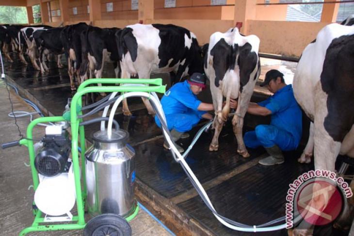 Peternak sapi perah perlu dukungan regulasi agar lebih bergairah