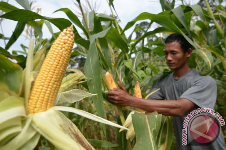 Muna perluas lahan tanam jagung
