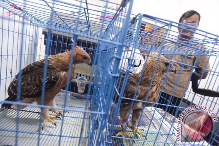 Ribuan elang migrasi melintasi langit Malang raya