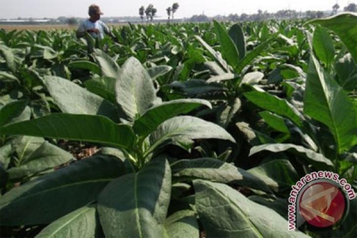 Bea Cukai belum terapkan pembatasan impor tembakau