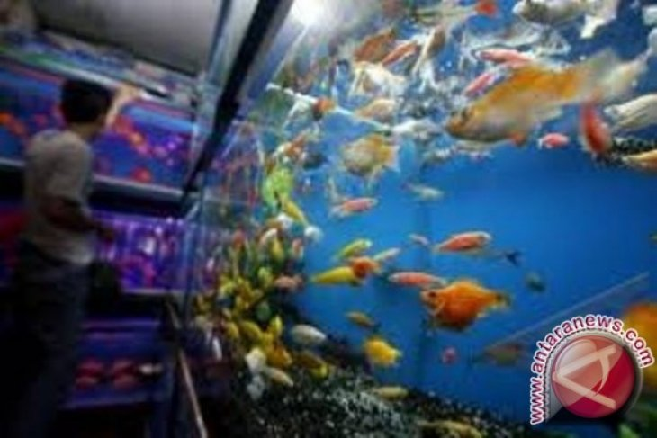 DKP Babel Kembangkan Ikan Hias Botia