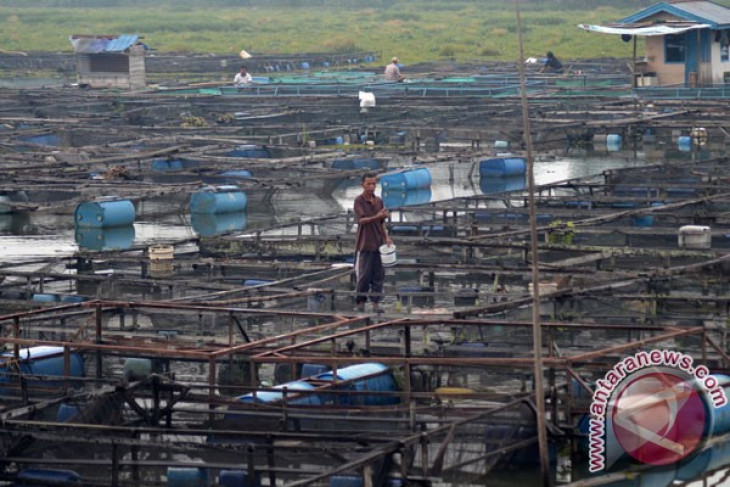 Belasan ribu benih ikan jelawat dilepasliarkan di Danau Sipin