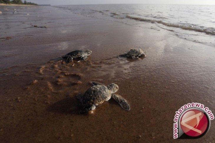 Akankah kita kehilangan kura-kura?