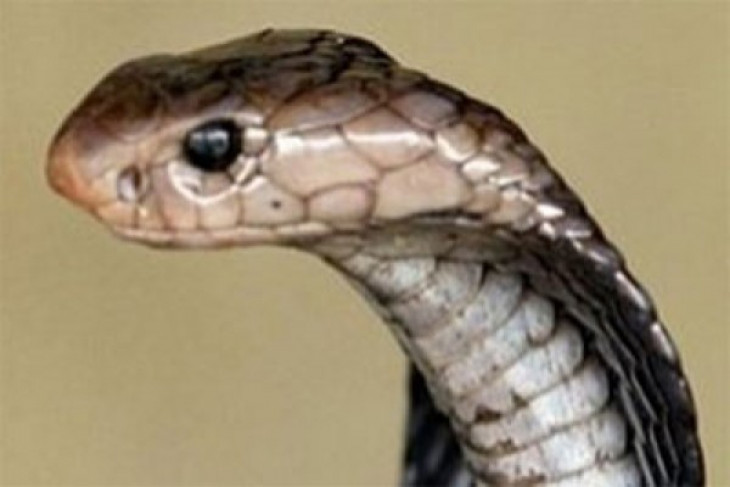 Pemuda ini tewas dipatuk King Cobra