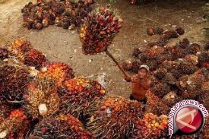 Harga CPO Jambi naik Rp209 per kilogram