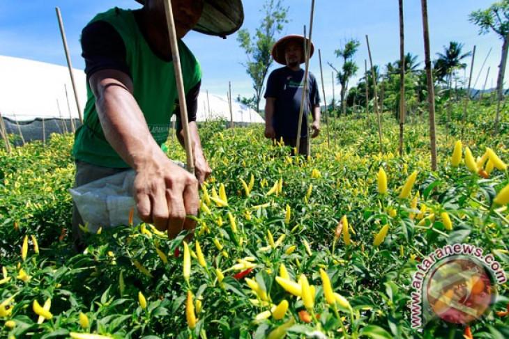 Produksi cabai Januari diperkirakan suplus 5.000 ton