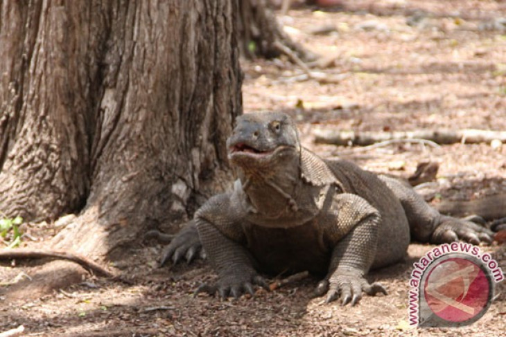 Komodo dragon population reaches 3,012 in Komodo National Park