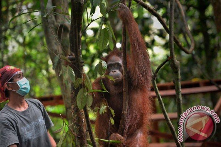 Six more orangutans set free in forest habitat