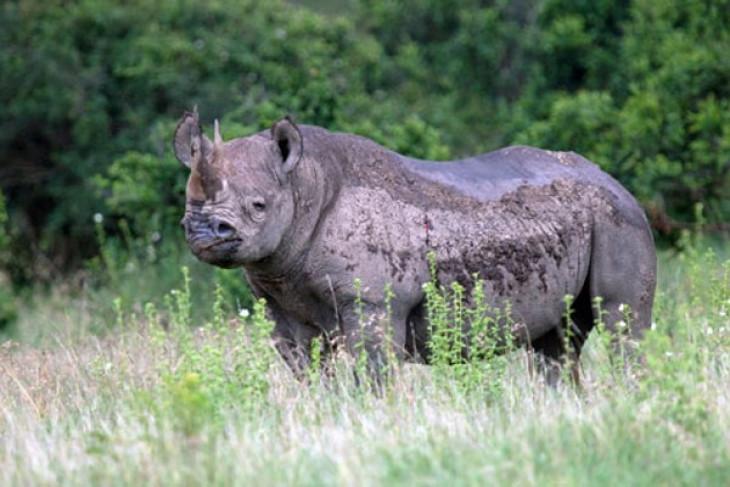 Enam badak hitam dari Afsel akan diterbangkan ke Chad