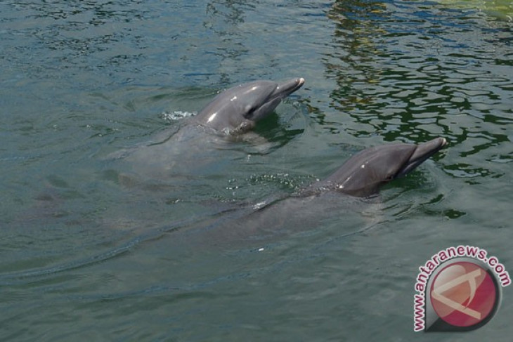 Pegiat hak satwa selamatkan lumba-lumba yang sekolam bersama hiu di Karimunjawa