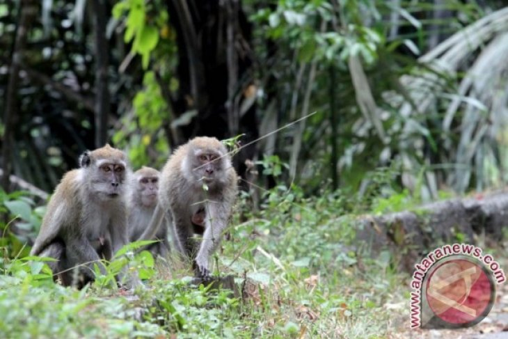 Puluhan monyet muncul di Jalinsum Mukomuko, Bengkulu