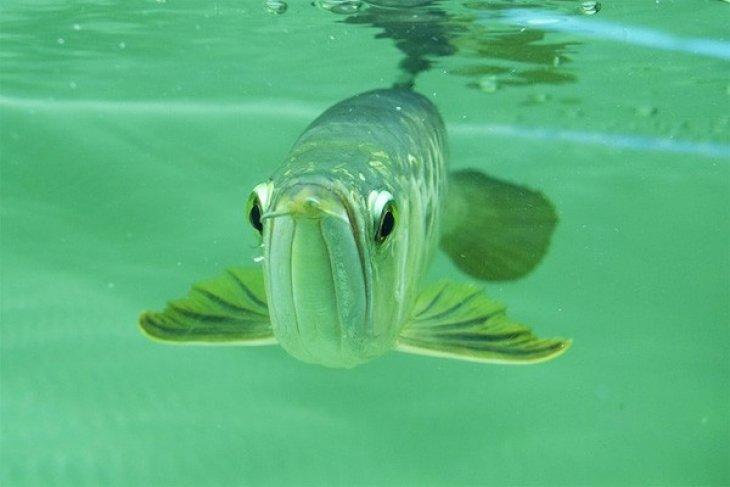 Melepasliarkan ikan Arwana di Danau Sentarum