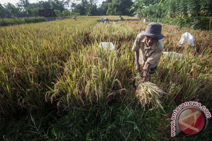Petani padi NTB terancam dapat harga rendah