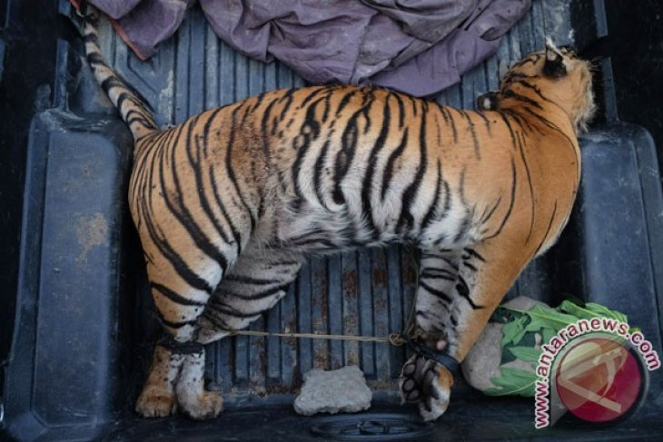 Polisi tangkap pemburu dan penjual kulit harimau sumatera