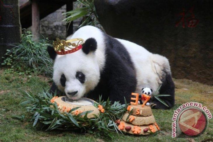 Panda Tertua di Dunia Mati Pada Usia 37 Tahun