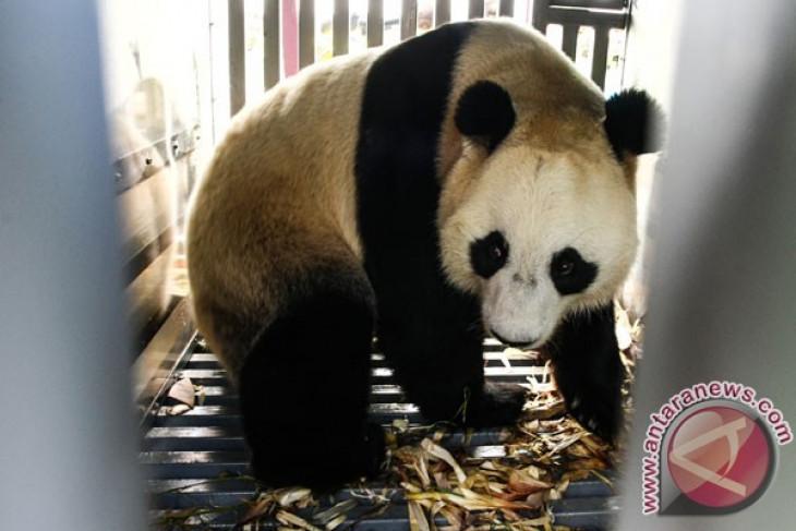 Panda raksasa TSI makin diminati pengunjung
