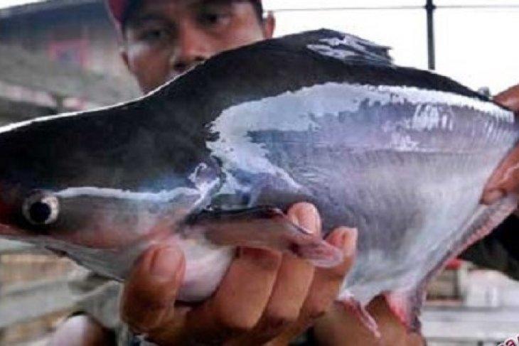 Peneliti IPB Matangkan Gonad Ikan Patin Dengan Cabe Jawa