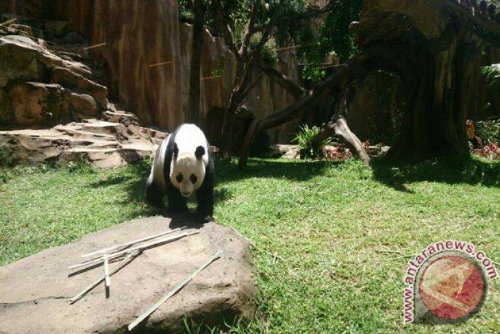 China bangun taman Panda senilai Rp15,8 triliun