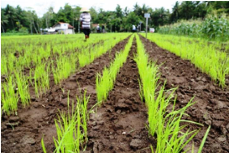 Kementan rilis varietas padi gogo berproduktivitas tinggi
