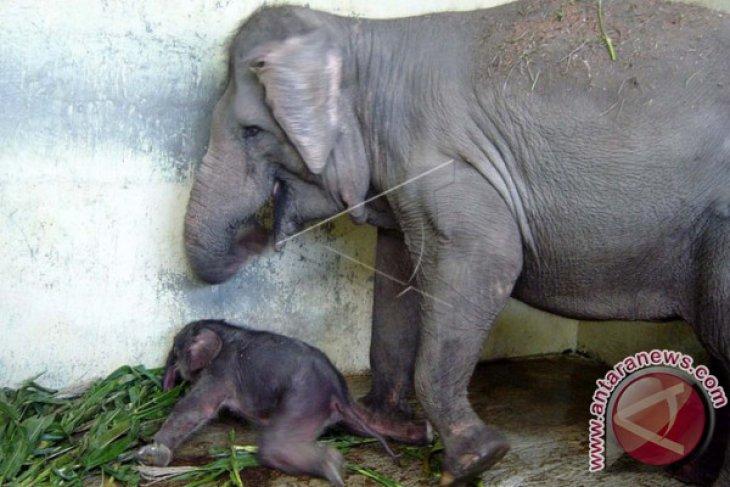 Gajah Sumatera Tesso Nilo Melahirkan