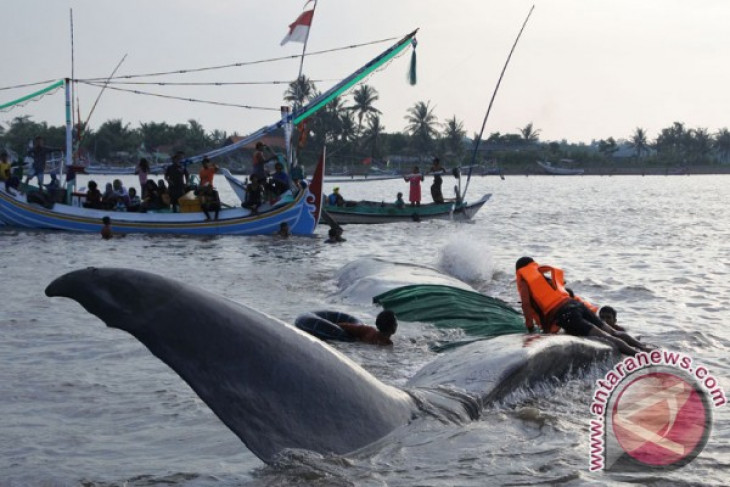 Stranded sperm  whale in Situbondo successfully saved