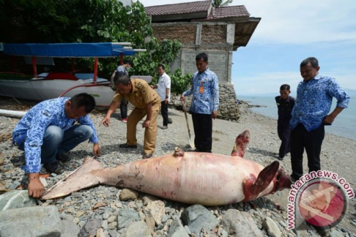 Dua dugong terjerat jaring nelayan di Kepulauan Kei