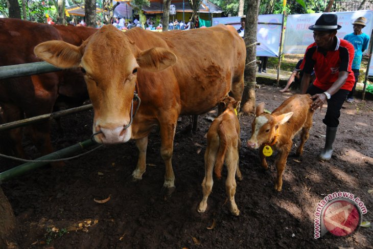 Nafas Desa Wonoayu dari birahi sapi