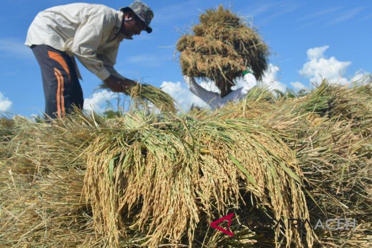 Benih IF8 hasilkan padi 12 ton/hektare