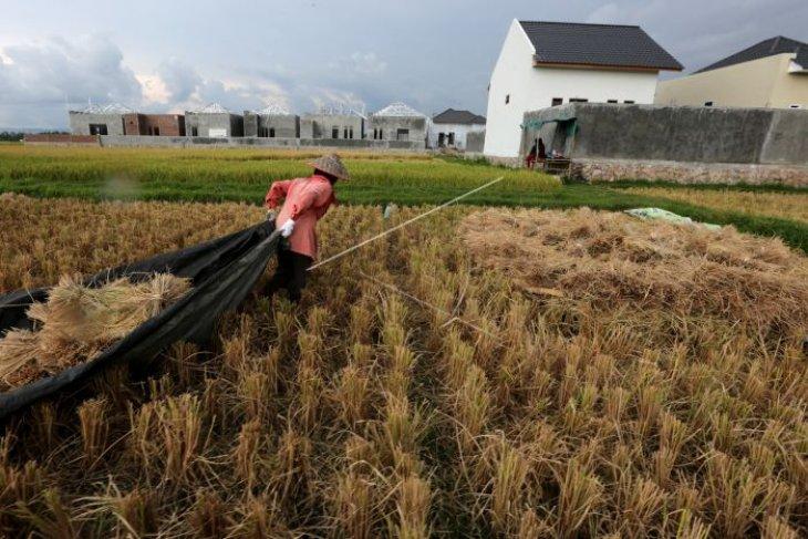 Panen raya di Abdya, namun Bulog tidak beli padi petani