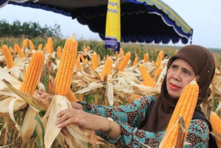 Fosfat alam terbukti signifikan dongkrak produksi jagung
