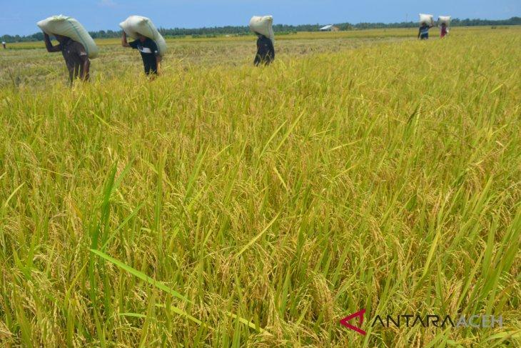Harga gabah petani Aceh November naik 3,54 persen