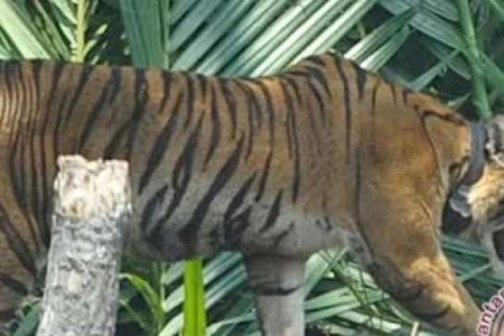 Relocating Sumatran tiger will not solve human-wildlife conflict: WWF