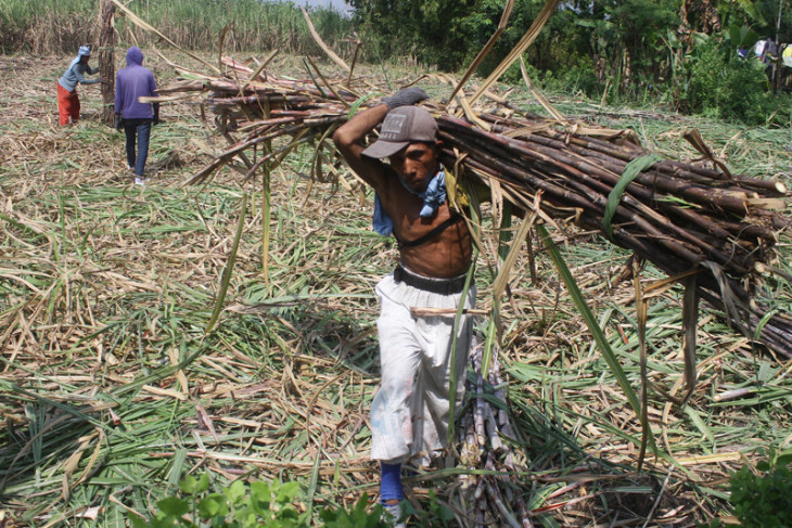 News Feature - Indonesia needs efficiency in sugar production  by Andi Abdussalam