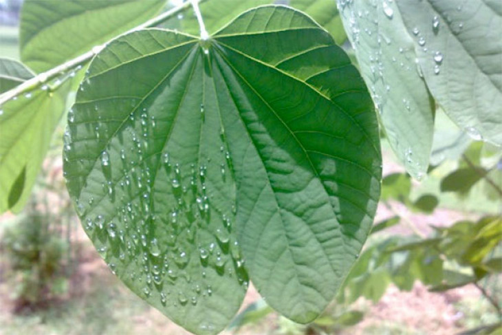 UNY kembangkan gel daun kupu-kupu penurun demam