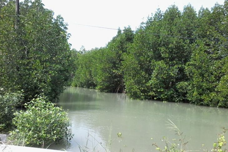 News Feature - Mangrove forests in Bombana need preservation by otniel tamindael