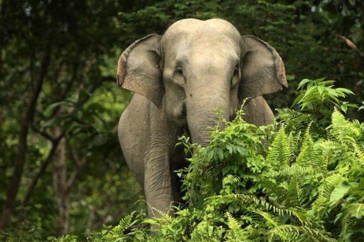 Seorang lansia tewas menggenaskan diamuk gajah liar