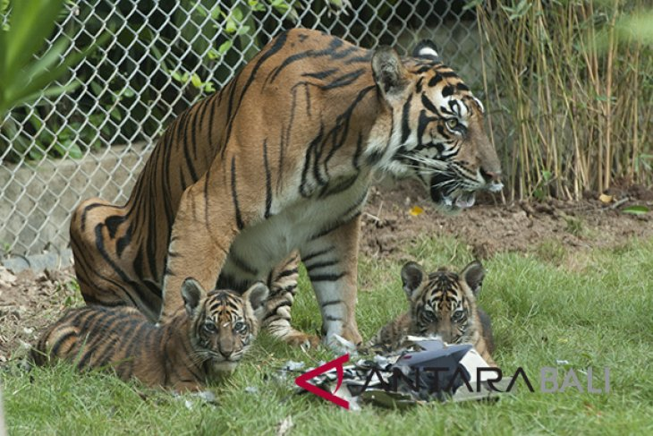 Bali zoo enlivens independence day anniversary