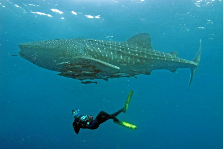 Akademisi sebut butuh kerja sama antarnegara lindungi hiu paus