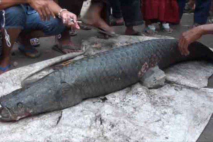 DKP Jambi buka posko penyerahkan ikan invansif