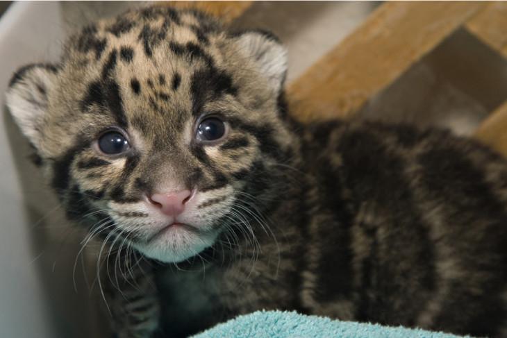 Bayi macan tutul langka lahir di Prancis