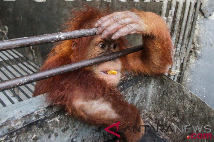 Peneliti: kondisi populasi orangutan Kalimantan kritis